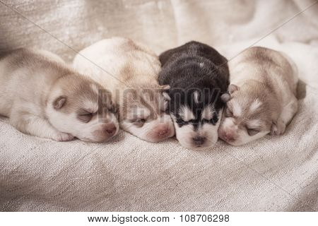 Newborn siberian husky puppies