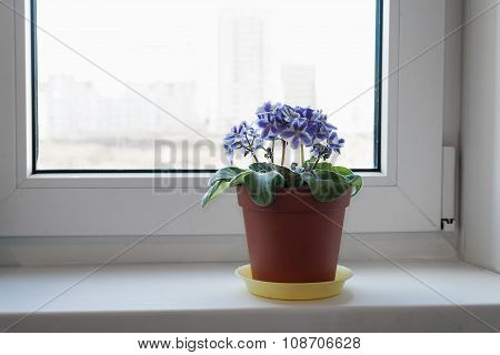 Violets On The Window