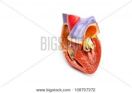 Model Of Open Human Heart Isolated On White Background