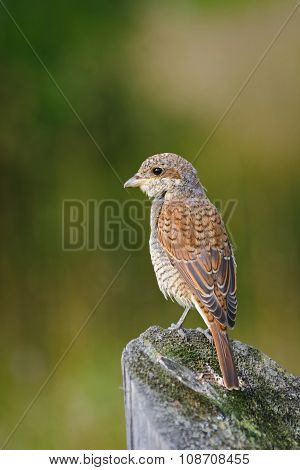 Portrait Of An Young Red-backed Shrike In Morning Light, Russia