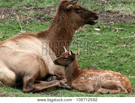 Young deer with mother
