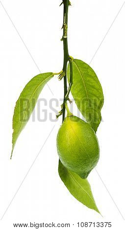 Branch of Fresh Lemon