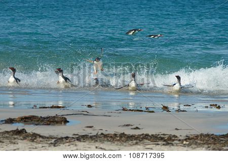 Acrobatic Gentoo Penguins