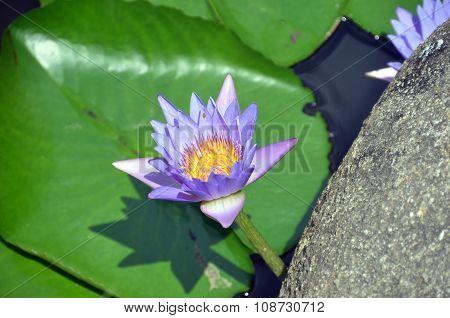Flower Nelumbo Nucifera, Yalong Bay, Hainan Island, China