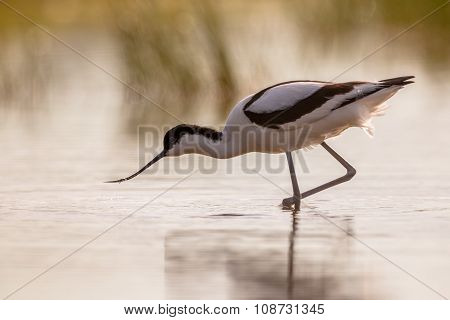 Pied Avocet Wading In Shallow Water