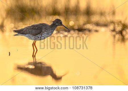 Back Lit Common Redshank