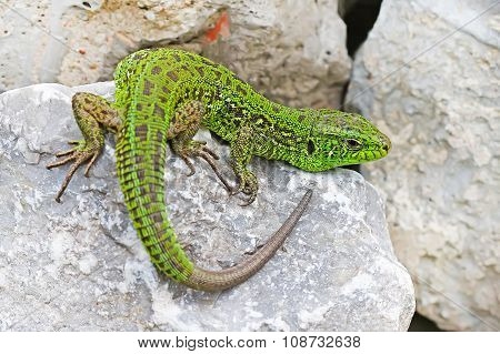 Green lizard(Lacerta viridis)