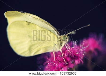 Yellow butterfly macro detail isolated on black background