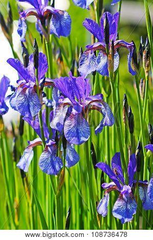 Siberian iris (Iris sibirica)
