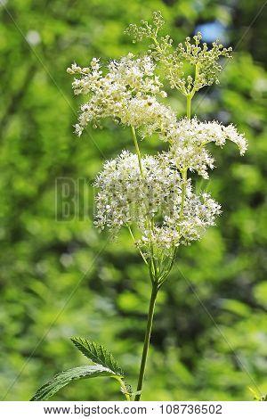 Meadowsweet (Latin name Filipendula ulmaria)