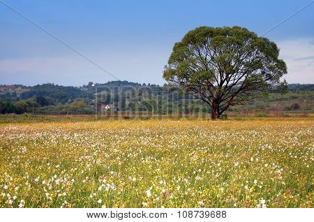 A field of daffodils in the spring