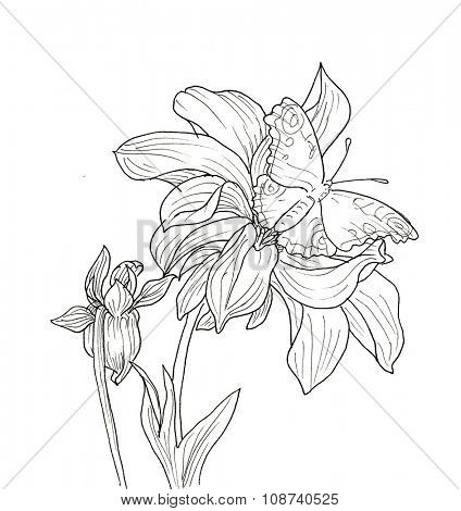 Line ink drawing of dahlia flower with butterfly. Black contour on white background