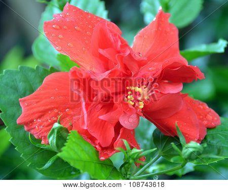 Flower Hibiscus, China, Hainan Island, May 2011