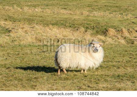 One Icelandic Lamb