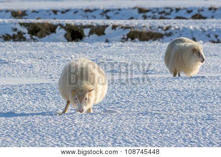 Icelandic Lambs