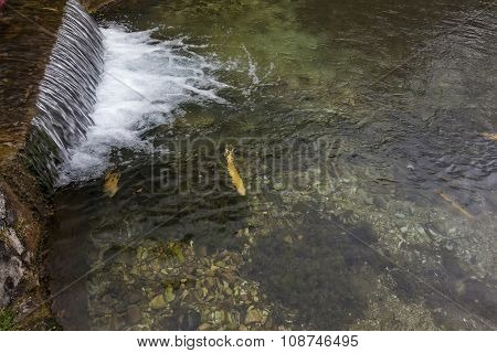 Trout And Waterfall 01
