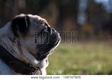 Portrait Of Pug In Profile.