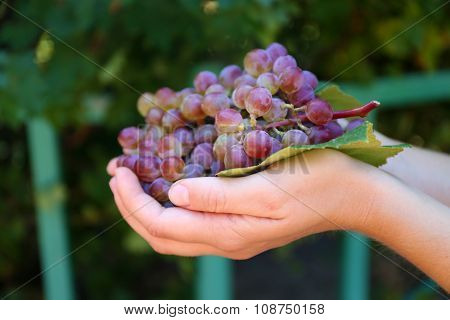 Juicy bunch of sweet grape in female's hand outdoors, close up