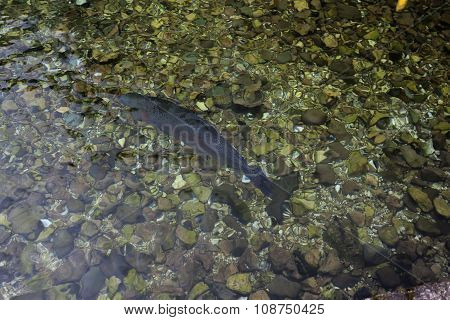 Trout In A River 01