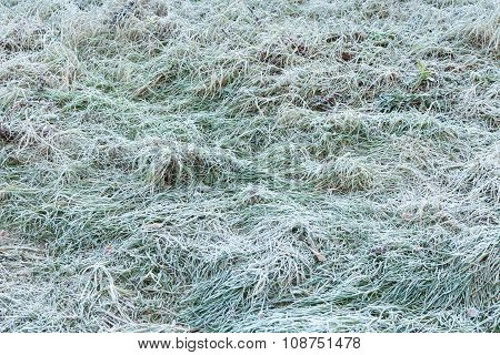Green Grass Covered With Frost