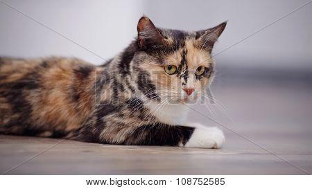 Portrait Of A Domestic Cat Of A Multi-colored Color