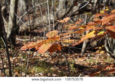 Leaves on Oak Tree (Autumn)