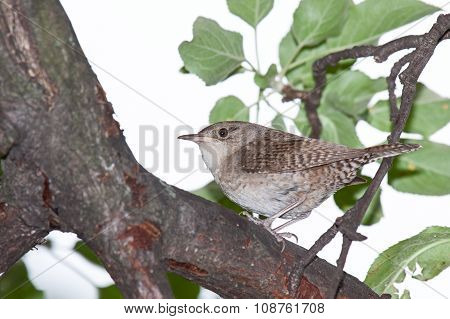 Wren in an Apple Tree