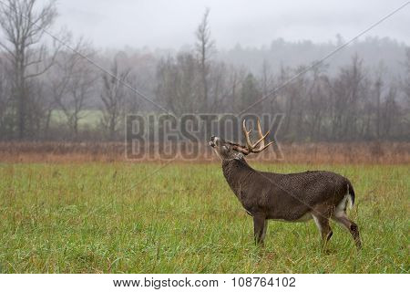 White-tailed Deer Buck In Rain