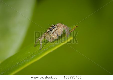 Jumper Spider On Leaf With Green Background