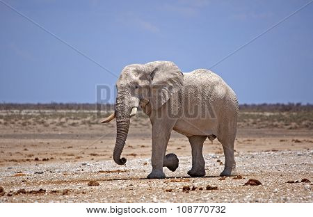 A lone elphant strolling across the Etosha Pan