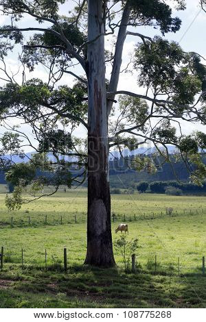 Tree And Cattle In Pasture