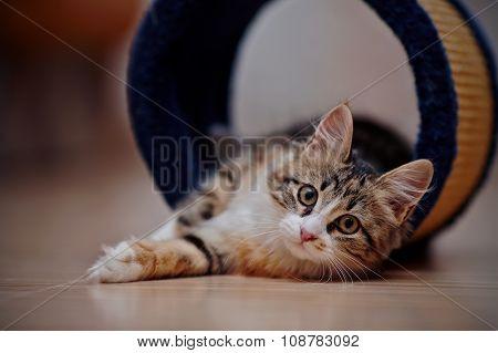 The Domestic Multi-colored Kitten