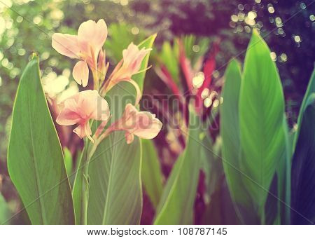 Sweet and Soft Flower Canna indica in vintage color.