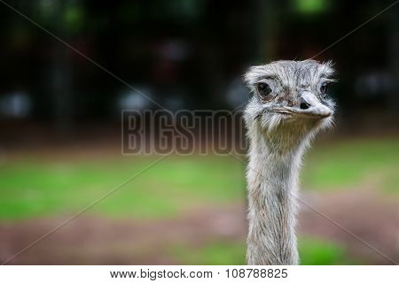 Ostrich bird head up close eye contact