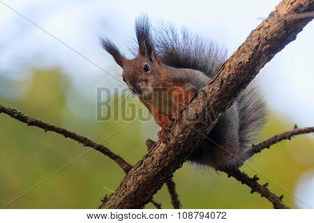 Squirrel On A Tree Closeup