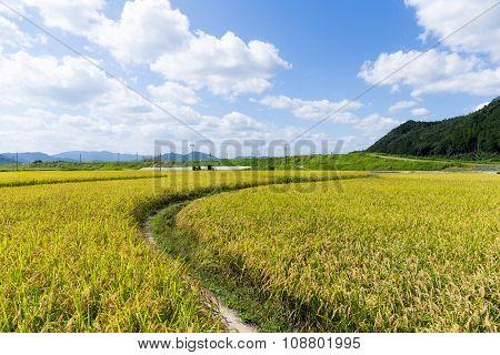 Footpath via Paddy rice meadow