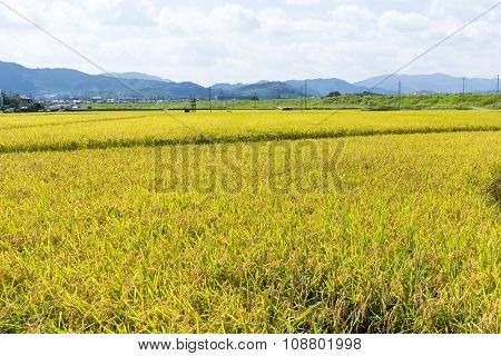 Paddy rice meadow