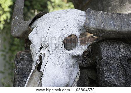 skull buffalo