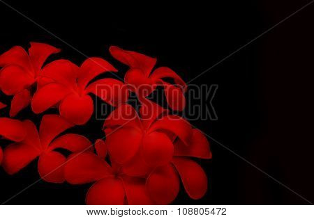 red plumeria flowers with black background