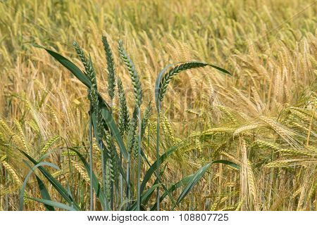 Some wheat ears in front of a barley field
