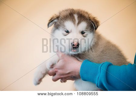 Alaskan Malamute puppy Dog sits in hands of owner