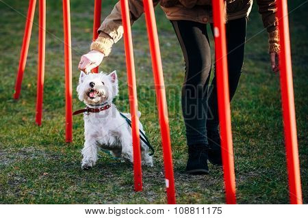 West highland white terrier dog doing agility - running slalom.