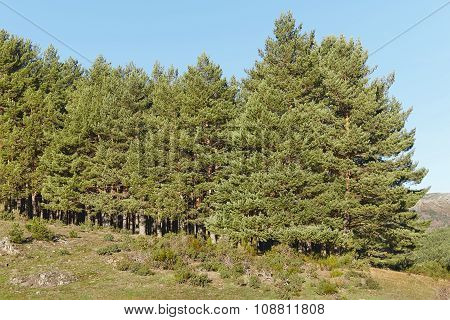 Landscape With Pine Wood Forest And Clear Blue Sky