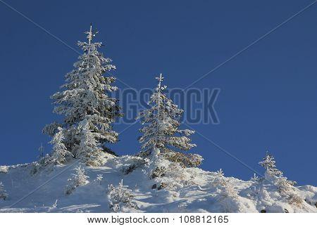 Snowy Spruce Trees Against Blue Sky