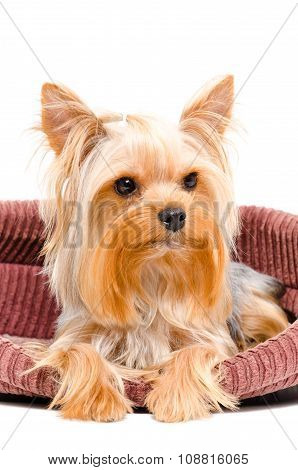 Portrait of Yorkshire terrier dog lying in bed