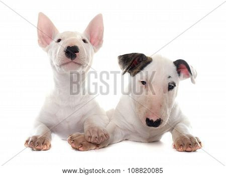 Puppies Bull Terrier