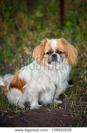 Pekingese dog on grass