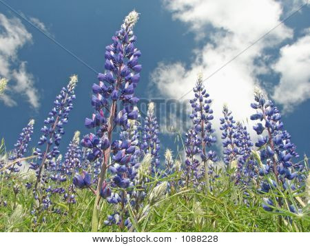 Lupine California Roadside