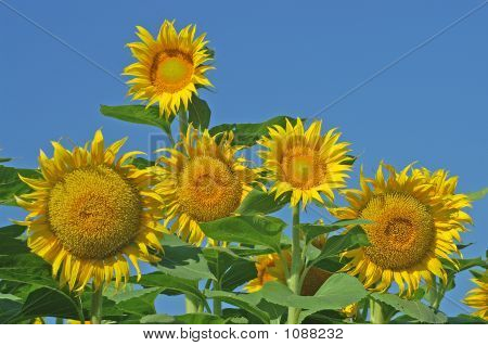 Mature Sunflowers Against Blue Sky
