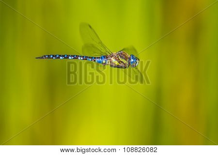 Flying Large Dragonfly